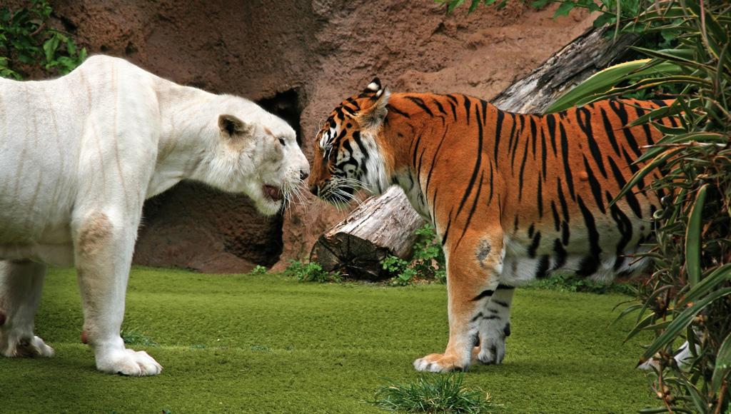Loro Parque, Los Tigres