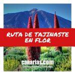 Ruta de Tajinaste en Flor – Tenerife